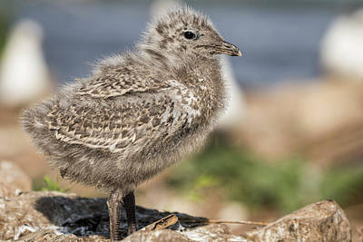 Larus Delawarensis Photograph - Ring-billed Gull Chick 2016-1 by Thomas Young