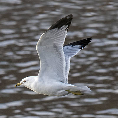 Photograph - Ring-billed Gull Flying by William Bitman