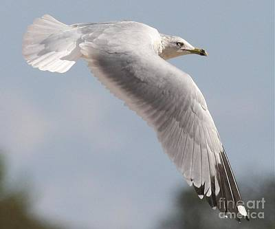 Photograph - Ring-billed Gull In Flight by Myrna Bradshaw