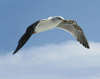 Photograph - Ring-billed Gull In Flight by William Bitman
