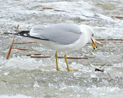 Photograph - Ring-billed Gull by Kathy M Krause