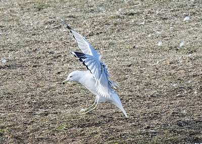 Photograph - Ring-billed Gull Landing With Wings Up by William Bitman