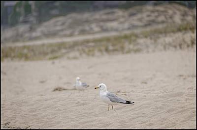 Seagull Photograph - Ring - Billed Gull by LeeAnn McLaneGoetz McLaneGoetzStudioLLCcom