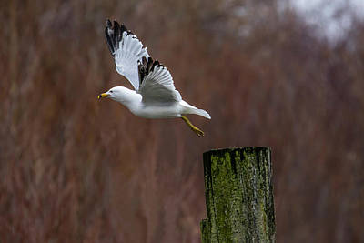 Photograph - Ring-billed Gull Lift Off by Gary Hall