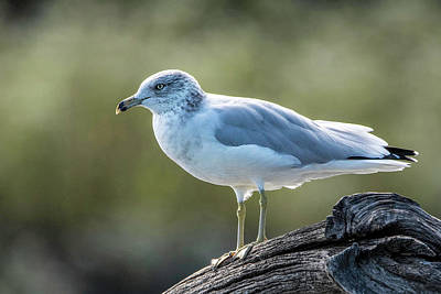 Photograph - Ring-billed Gull by Linda Shannon Morgan