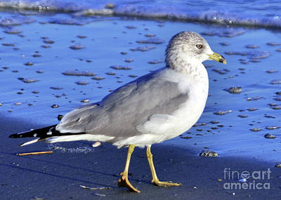 Photograph - Ring-billed Gull by Lydia Holly