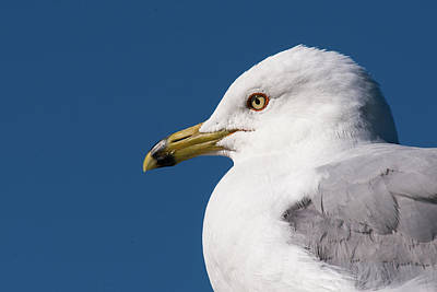 Art Print featuring the photograph Ring-billed Gull Portrait by Onyonet  Photo Studios