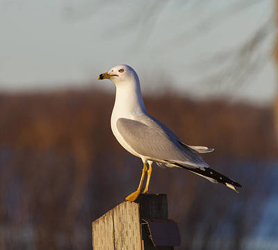 Photograph - Ring Billed Gull by Richard Lee
