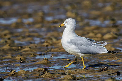 Composition Photograph - Ring-billed Gull by Rick Higgins