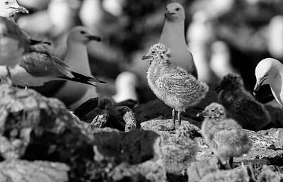 Photograph - Ring-billed Gulls 2016-1 by Thomas Young