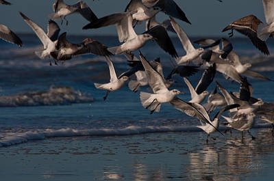 Ring-billed Gulls At Kiawah Island Art Print