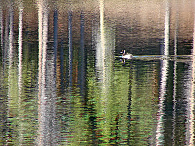 Photograph - Ring Neck Duck Rmnp by Diana Douglass