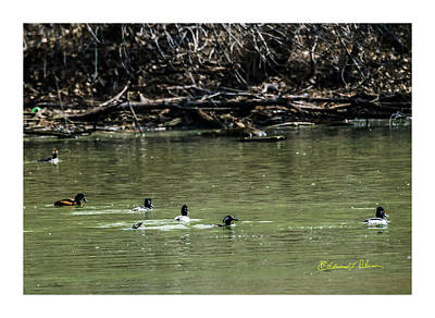 Photograph - Ring-necked Duck And Hooded Merganser by Edward Peterson