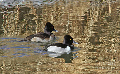Photograph - Ring-necked Duck by Gary Wing