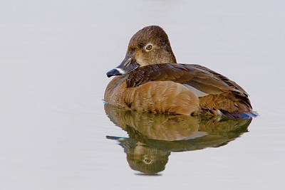 Photograph - Ring-necked Duck Hen by Craig Strand