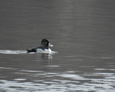 Photograph - Ring-necked Duck by Kathy M Krause
