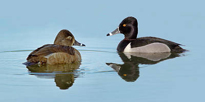 Photograph - Ring-necked Duck Pair by Craig Strand