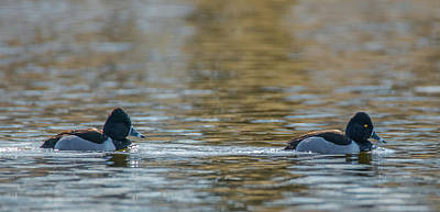 Photograph - Ring-necked Duck Pair by Jeff at JSJ Photography