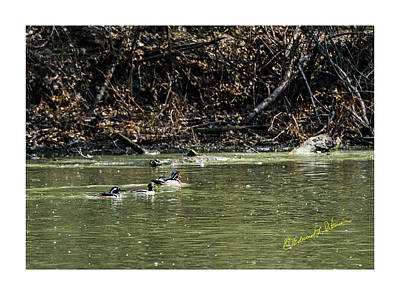 Photograph - Ring-necked Duck Wood Duck Hooded Merganser by Edward Peterson