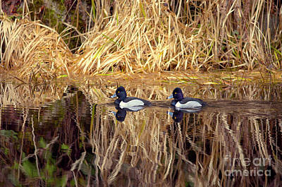 Photograph - Ring-necked Ducks by Sharon Talson