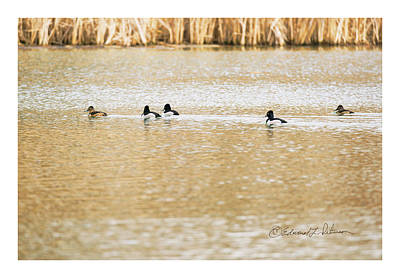 Photograph - Ring-necked Ducks Swimming by Edward Peterson