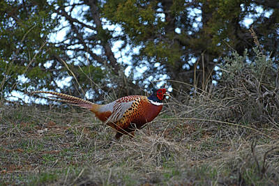 Photograph - Ring Necked Pheasant by David Armstrong