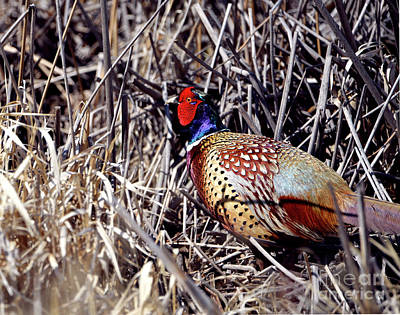 Photograph - Ring-necked Pheasant - In The Reeds by Denise Bruchman