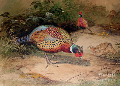 Pheasant Painting - Ring Necked Pheasant by Joseph Wolf