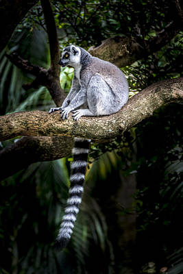 Photograph - Ring-tailed Lemur 1 by Francisco Gomez