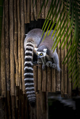 Photograph - Ring-tailed Lemur 2 by Francisco Gomez