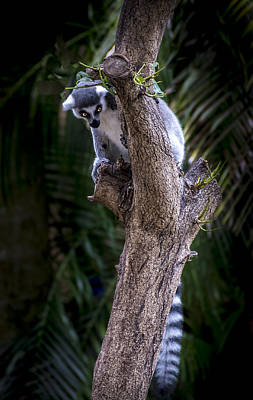 Photograph - Ring-tailed Lemur 3 by Francisco Gomez