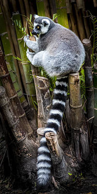 Photograph - Ring-tailed Lemur 4 by Francisco Gomez