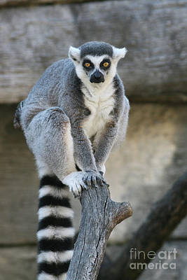 Photograph - Ring-tailed Lemur #6 by Judy Whitton