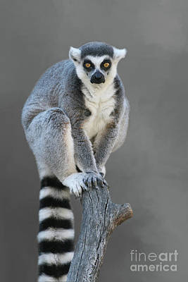 Photograph - Ring-tailed Lemur #6 V2 by Judy Whitton