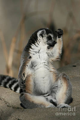 Photograph - Ring-tailed Lemur #8 by Judy Whitton