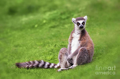 Ring-tailed Lemur Photograph - Ring Tailed Lemur by Amanda Elwell