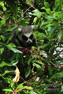 Animals Photos - Ring-Tailed Lemur Berries Valencia by Eddie Barron
