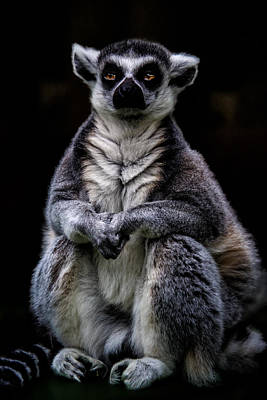 Ring-tailed Lemur Photograph - Ring Tailed Lemur by Chris Lord