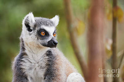 Photograph - Ring-tailed Lemur Closeup by Nick Biemans