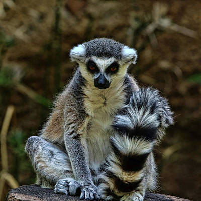 Photograph - Ring-tailed Lemur by Judy Vincent