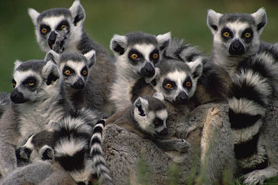 Ring Tailed Lemurs Photograph - Ring-tailed Lemur Lemur Catta Group by Gerry Ellis