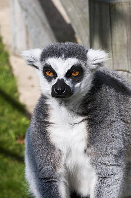 Photograph - Ring Tailed Lemur by Mick House