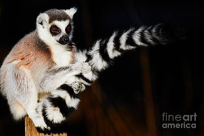 Photograph - Ring-tailed Lemur  by Nick Biemans