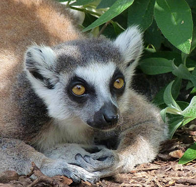 Photograph - Ring-tailed Lemur Relaxing by Margaret Saheed