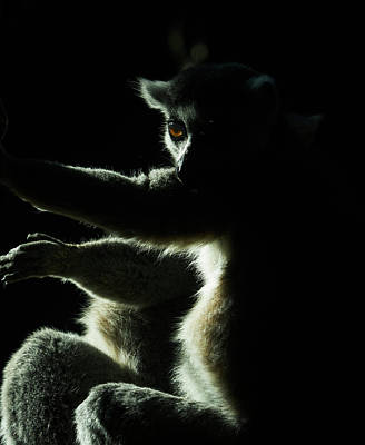 Photograph - Ring Tailed Lemur by Steven Ralser