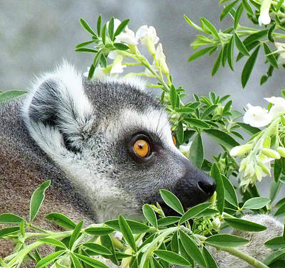 Photograph - Ring-tailed Lemur Watching His Group  by Margaret Saheed