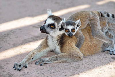 Bench Photograph - Ring Tailed Lemur With Baby by George Atsametakis
