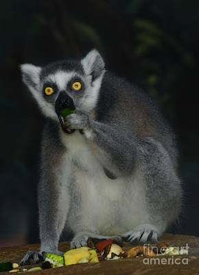 Photograph - Ring Tailed Lemure by Elaine Manley