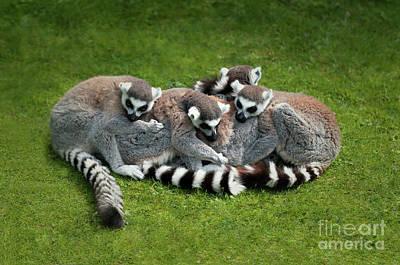 Ring-tailed Lemurs Photograph - Ring Tailed Lemurs by Amanda Elwell