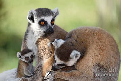 Tail Photograph - Ring Tailed Lemurs Family by George Atsametakis